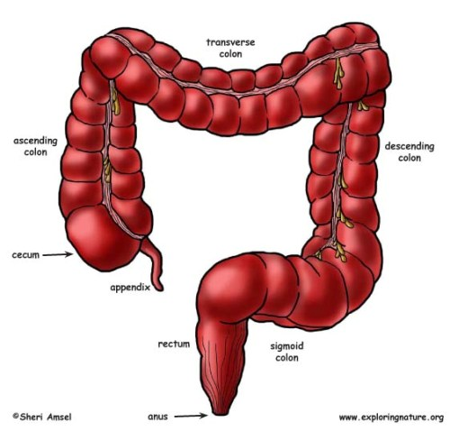 Large Intestine Facts