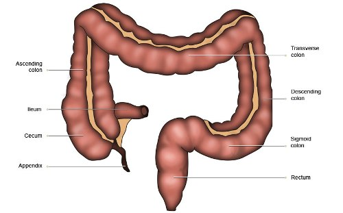 Large Intestine Images