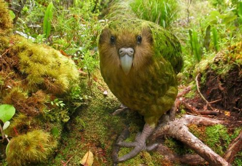 The Kakapo Facts