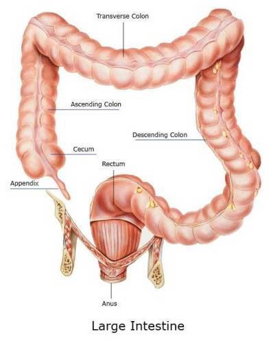 The Large Intestine Facts