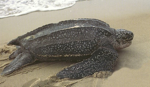 The Leatherback Sea Turtle Images