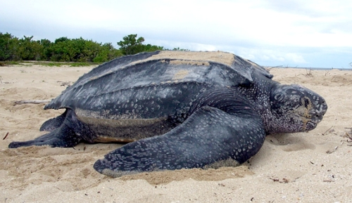 The Leatherback Sea Turtle Photo