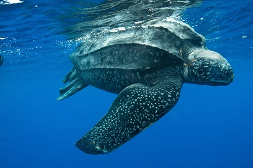 The Leatherback Sea Turtle facts