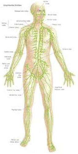the lymphatic system Picture