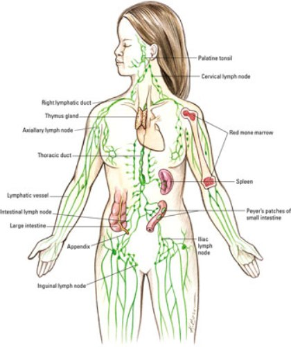 the lymphatic systems