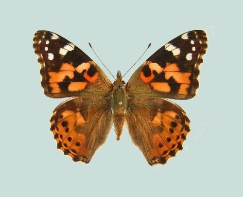 the painted lady butterfly facts