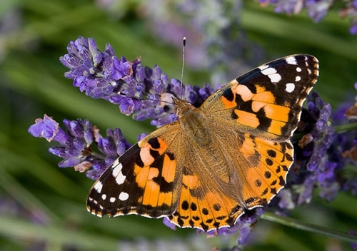 the painted lady butterfly colors