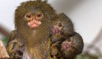 10 Interesting The Pygmy Marmoset Facts