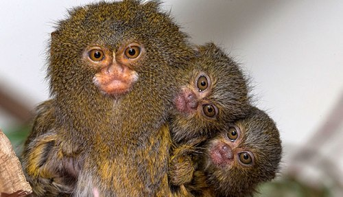 the pygmy marmoset cute