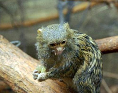 the pygmy marmoset facts