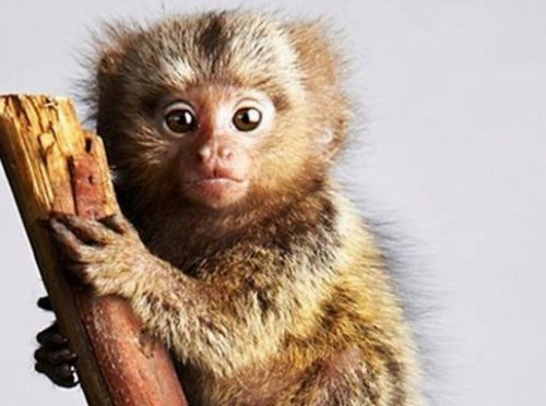 the pygmy marmoset image