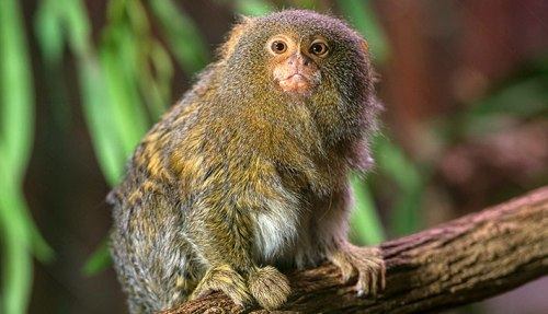 the pygmy marmoset