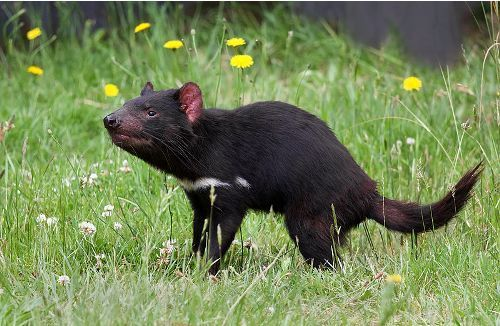 facts about tasmanian devil
