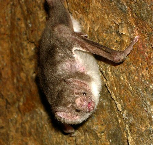 Facts about Vampire Bat