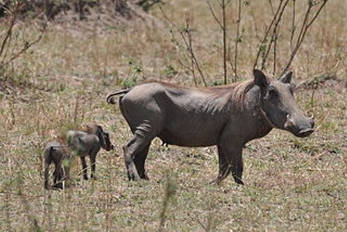 warthog facts