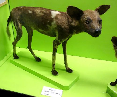 African Wild Dog Pic