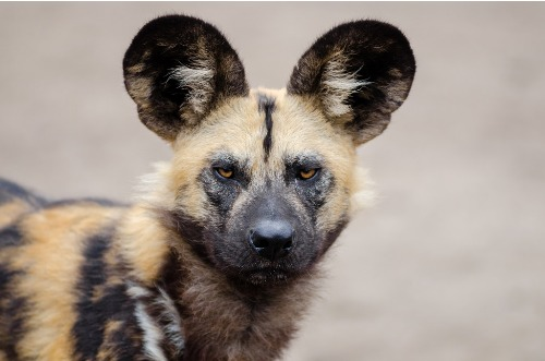 Facts about African Wild Dog