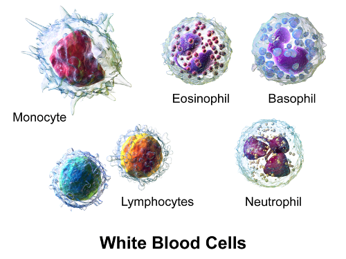 Facts about White Blood Cell