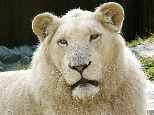 Facts about White lion