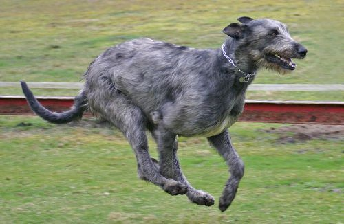 Facts about Irish Wolfhound