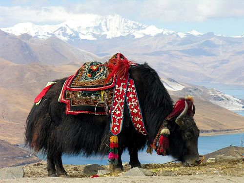 Facts about Yak