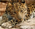 10 Interesting Amur Leopard Facts