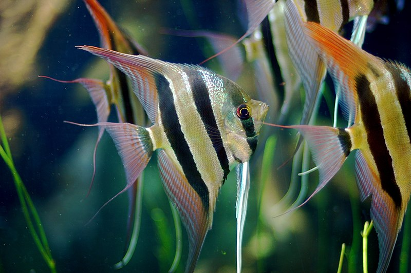 A Group of Angelfish