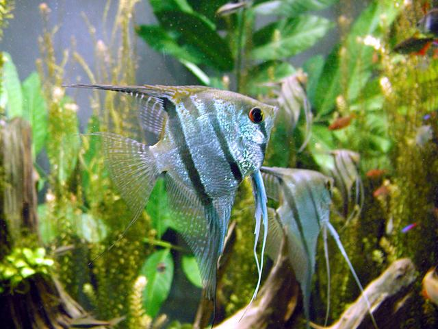 Freshwater Angelfish in biodome