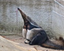 10 Interesting Anteater Facts